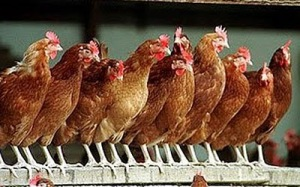 Spiritual Blog - Chickens